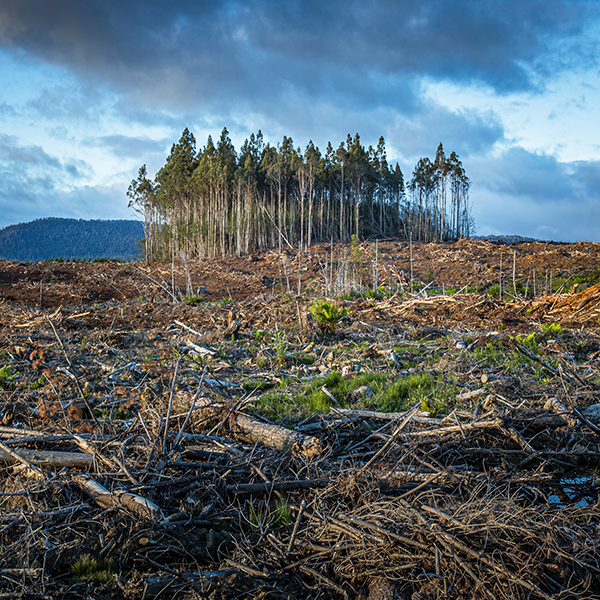 Newly cleared forest with a small group of trees in background